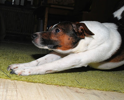 cachorro-espreguicando-se