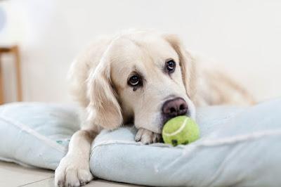 cachorro-com-bolinha-aguardando-alguem-para-brincar