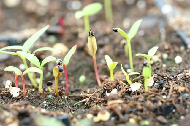 sementes-germinando