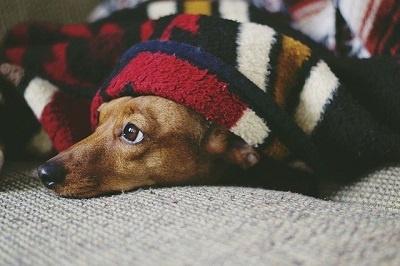 cachorro embaixo do cobertor